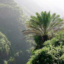 Canarische palm in noorden La Palma