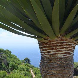 drakenbloedboom la palma