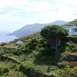 Drakenbloedboom noorden La Palma