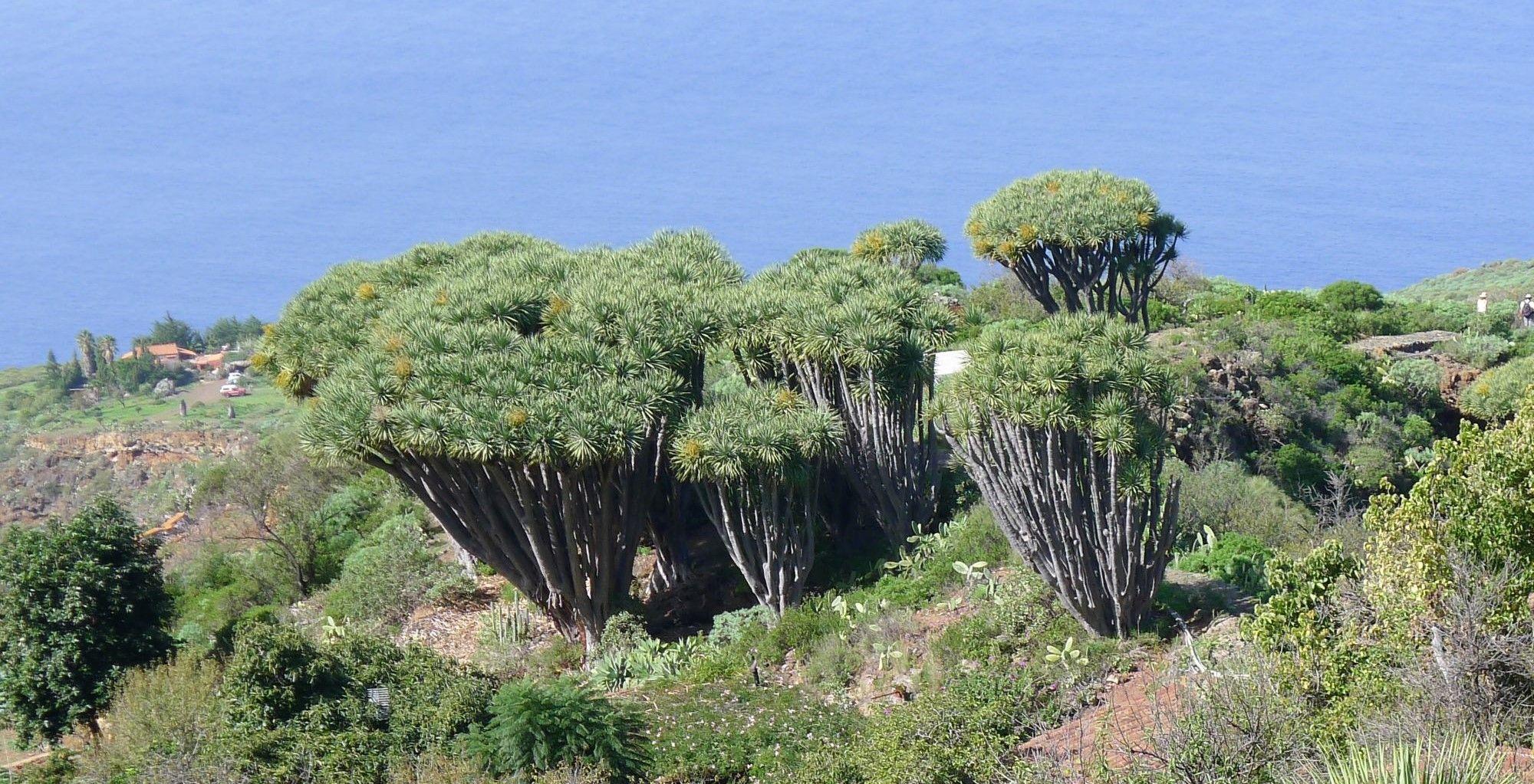 La Palma Las Tricias drakenbloedbomen