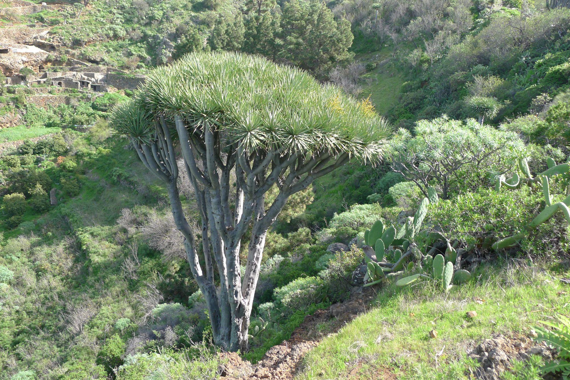 La Palma Las Trcias drakenbloedboom